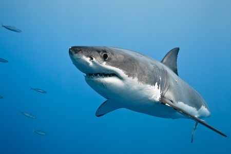 Great white shark - Carcharodon carcharias, in pacific ocean near the coast of Guadalupe Island - Mexico. Banco de Imagens - 31595594