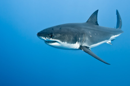 great white shark: Great white shark - Carcharodon carcharias, in pacific ocean near the coast of Guadalupe Island - Mexico.
