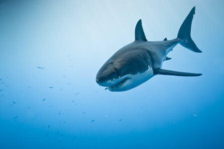 Great white shark - Carcharodon carcharias, in pacific ocean near the coast of Guadalupe Island - Mexico. Stock Photo