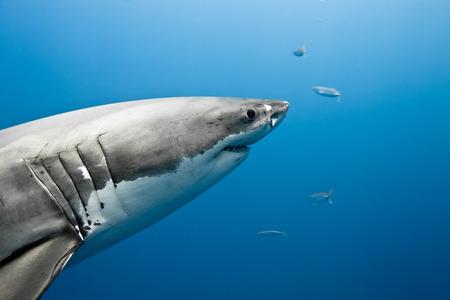 Le grand requin blanc - Carcharodon carcharias, dans l'oc�an Pacifique pr�s de la c�te de l'�le de Guadalupe - Mexique.