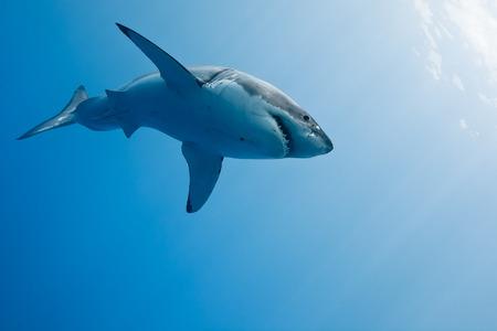 Grande squalo bianco - Carcharodon carcharias, in Oceano Pacifico vicino alla costa di Isola di Guadalupe - Messico. Archivio Fotografico - 31595621