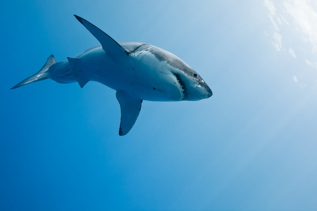 great danger: Great white shark - Carcharodon carcharias, in pacific ocean near the coast of Guadalupe Island - Mexico.