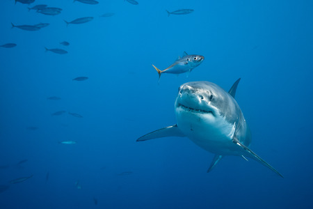 white shark: Great white shark - Carcharodon carcharias, in pacific ocean near the coast of Guadalupe Island - Mexico.