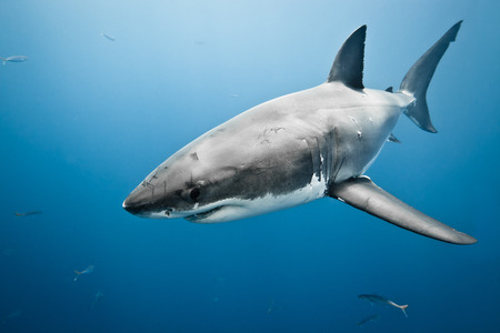 Great white shark - Carcharodon carcharias, in pacific ocean near the coast of Guadalupe Island - Mexico. photo