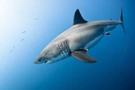 blanc: Grand requin blanc - Carcharodon carcharias, dans l'océan Pacifique près de la côte de l'île de Guadalupe - Mexique. Banque d'images