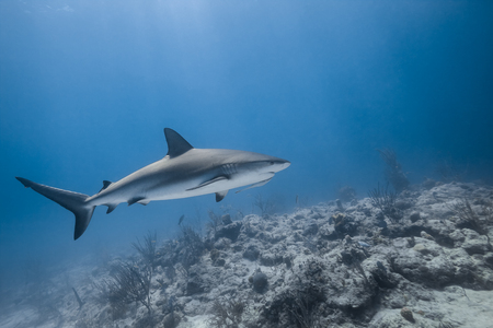carcharhinus amblyrhynchos grey reef shark swim along a reef in blue ocean of Bahamas Stock Photo