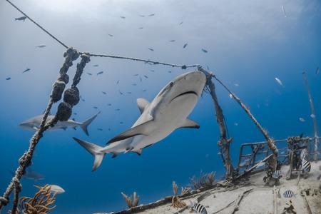 carcharhinus amblyrhynchos grey reef shark swim along a wreck in blue ocean of Bahamas Stock Photo