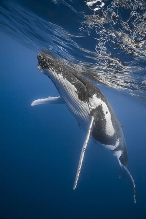 Underwater view of an humpback whale in deep blue pacific ocean at Kindgom of Tonga.