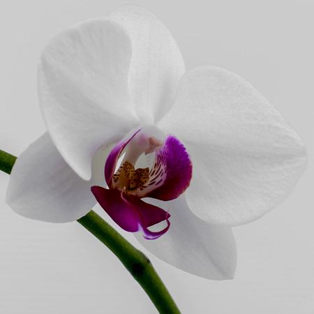 key of paradise: Flowers of white and pink phalaenopsis on a spike. Isolated image on white background. Stock Photo