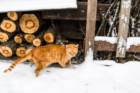 red cat: Red cat standing on the snow near firewood stack. Stock Photo