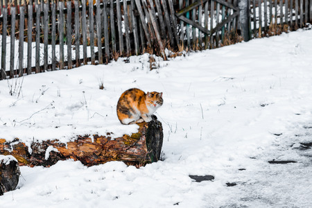 tri  color: Tortoise cat sitting on the log near the fence in winter.