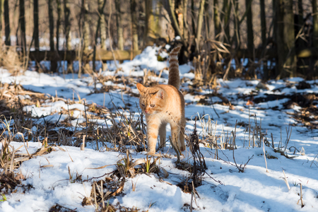 scorched: Red cat with scorched whiskers sneaks through the snow-covered garden. Stock Photo