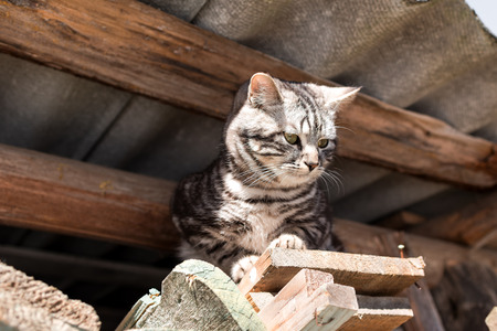 grey tabby: Grey tabby cat sitting under the roof of the barn . Stock Photo