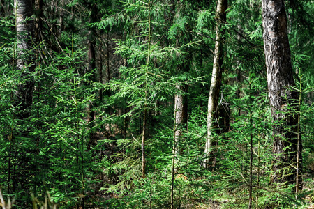 coniferous: Coniferous forest in the spring sunny day. Stock Photo