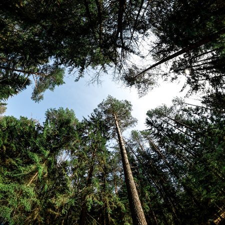 conifer: Square frame of conifer crowns aimed to the sky .