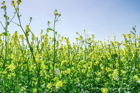 close shot: Close shot of rape field pollinated by bees on sunny day.