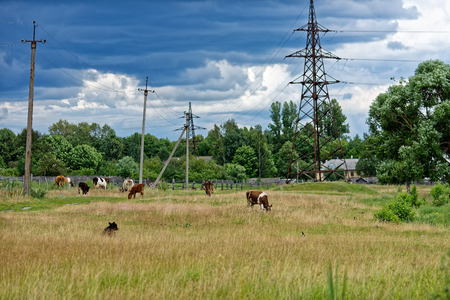 grassing: Cow herd grassing on the meadow on summer day. Stock Photo