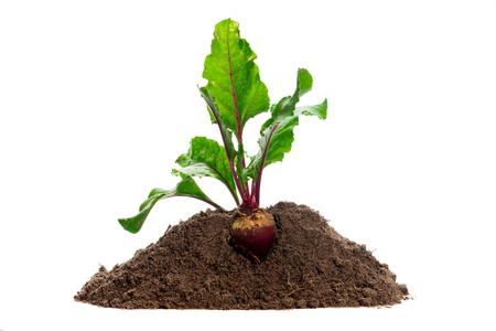 raíz de planta: Beet root. Growing plant isolated over white background Foto de archivo