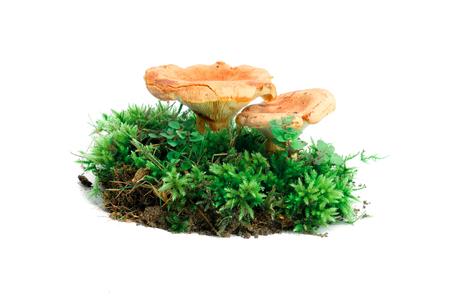 milkcap: Pair of saffron milk cap fungi in moss isolated over white background