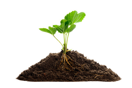 roots: Young strawberry. Growing plant isolated over white background Stock Photo