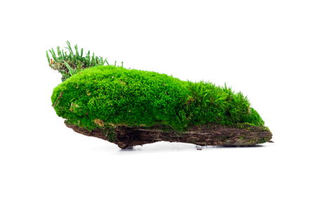 turf bog: Green forest moss isolated over white background Stock Photo