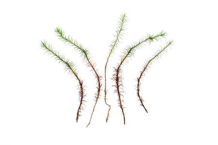 turf bog: Separate grasses of haircap moss isolated over white background Stock Photo