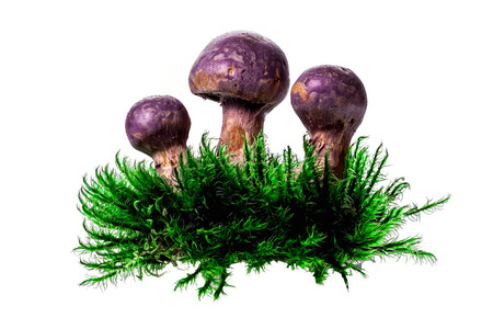 conditionally: Purple webcap forest mushrooms in deep moss isolated over white