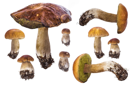 cepe: Collage of various size mushrooms of cepe boleti isolated on white background