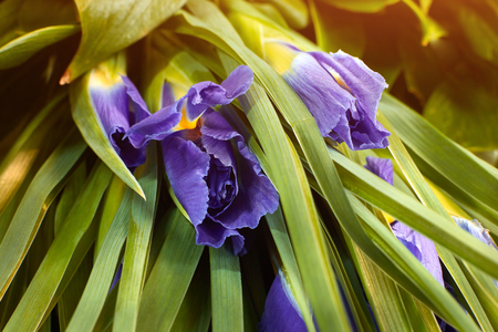 Close up dark blue Iris flower blossom. Concept delicate holiday bouquet of iris violet
