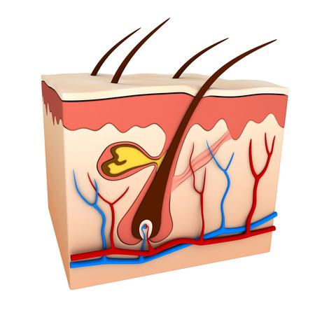 capillaries: Hair follicle scheme (done in 3d rendering)