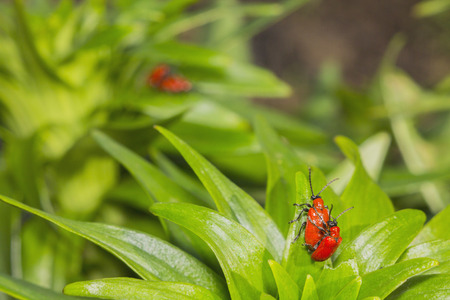 reproduce: Two pairs of red beetles