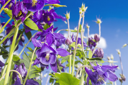 Purple columbine against the blue sky with white clouds