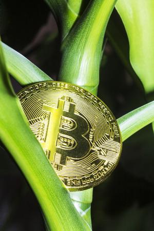 The golden bitcoin grew like a fruit on a green tree. Фото со стока