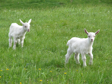 Two young white goats graze on a green meadow. Reklamní fotografie