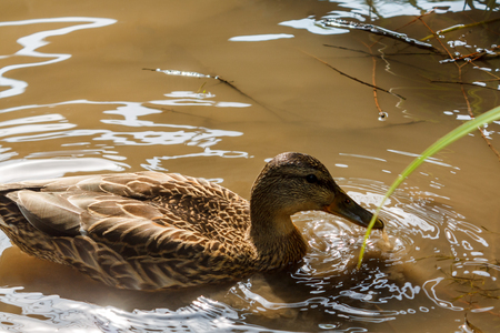 One brown duck swims in the water in the river