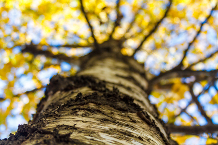 A look up the birch trunk on the yellow foliage against the blue sky.