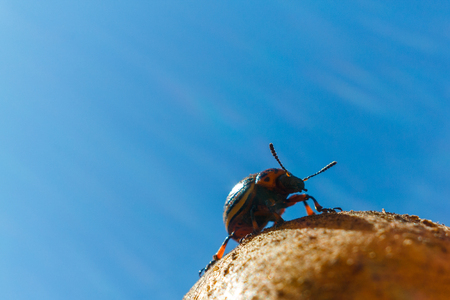 The Colorado potato beetle sits on potatoes and basks in the sun. Image contains copy space. Banque d'images - 115746413