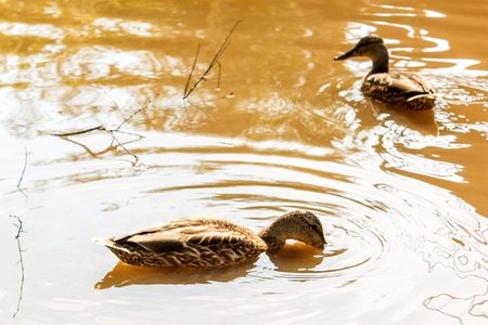 A group of brown ducks swimming in the water in a river. Stock Photo