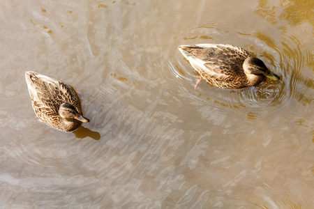 A group of brown ducks swimming in the water in a river. Imagens