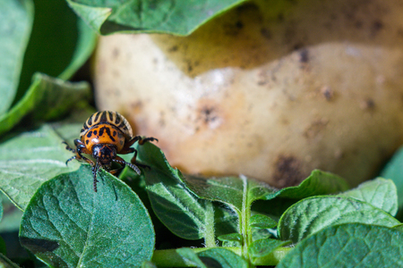 A close up image of the Colorado potato beetle that crawls on potatoes and green leaves and eats them.