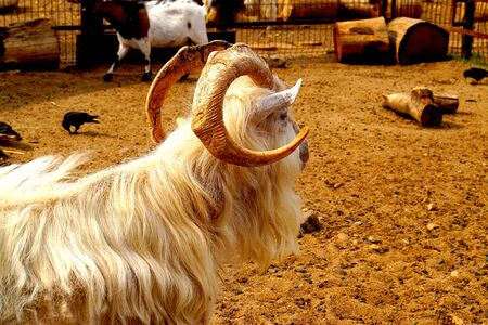 A goat with large horns warms itself under the summer sun and walks in the zoo.