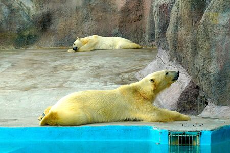 A two large fluffy polar bears basks in the summer sun and sleeps in a zoo.