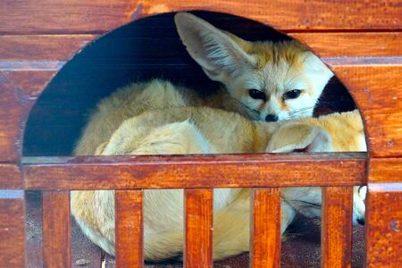 Two small desert fennec foxes with large ears lie in a house in the zoo. Animals.
