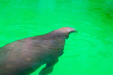 A large walrus is basking in the summer sun and swimming in the water at the zoo. 版權商用圖片