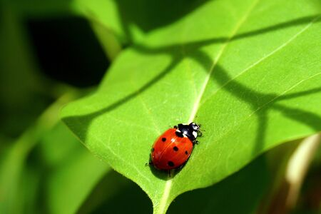 A bright red ladybug with black spots creeps on a green leaf. Seasons.