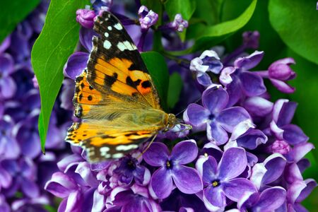 A bright orange butterfly collects pollen on a bush of purple lilac. Insects and flowers.