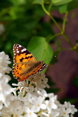 A bright orange butterfly collects pollen on a bush of white lilac. Insects and flowers.