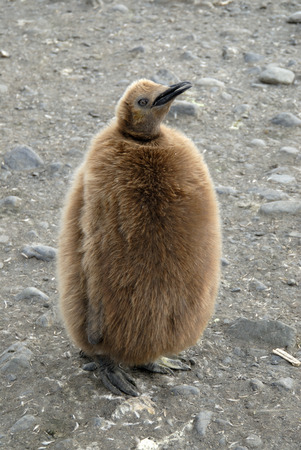 KIng Penguin chick Stock Photo - 1728933