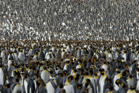 Colony King Penguin, South Georgia  ,Andrews Bay Stock Photo - 1728930