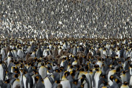 Colony King Penguin, South Georgia  ,Andrews Bay